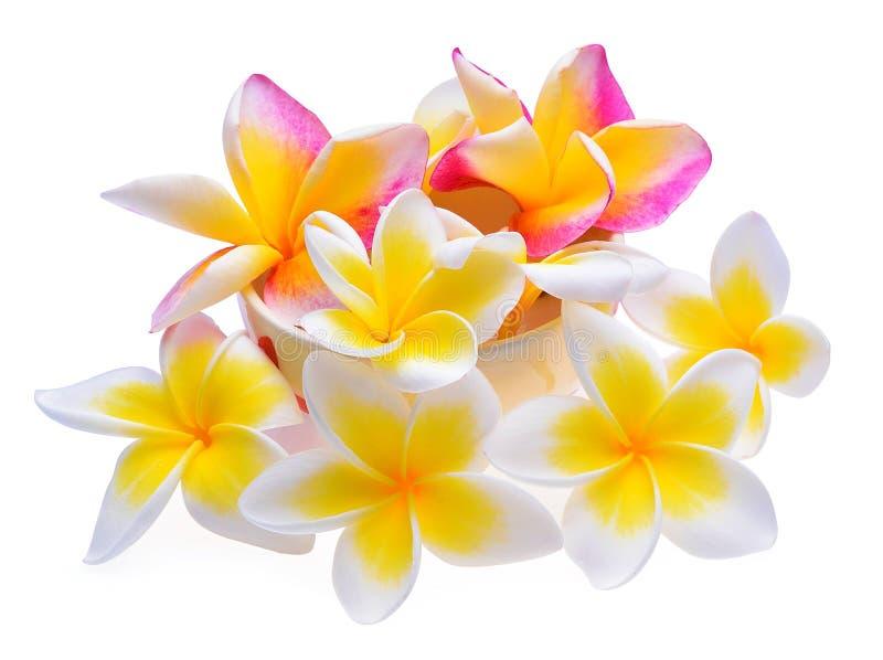Fondo di bianco del fiore del frangipane fotografia stock