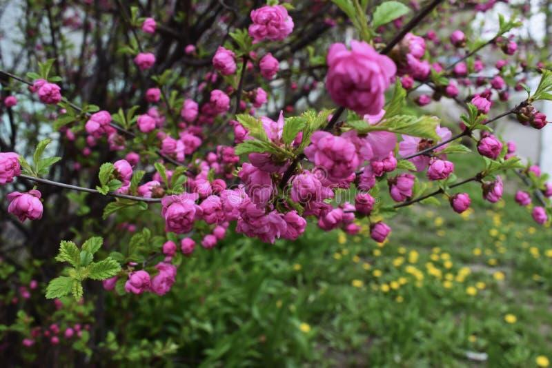 Fondo di Cherry Blossom With Beautiful Nature o di Sakura Flower fotografia stock