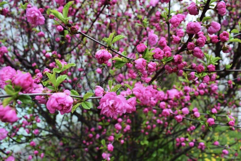 Fondo di Cherry Blossom With Beautiful Nature o di Sakura Flower immagini stock