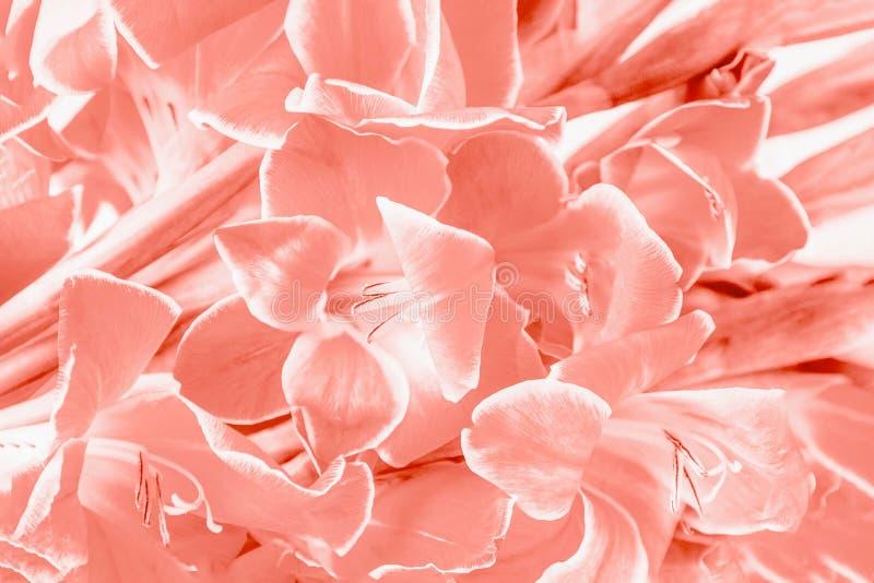 Fondo di corallo del modello di fiori di gladiolo di colore Priorità bassa del fiore immagini stock libere da diritti