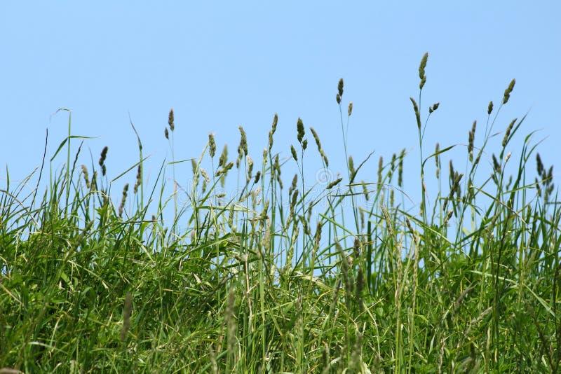 Fondo di erba selvatica verde su un fondo di cielo blu fotografia stock