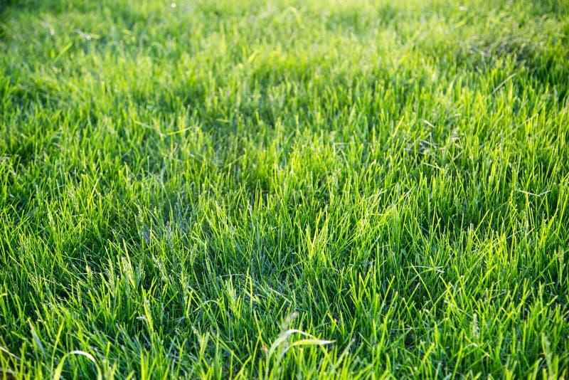 Fondo di erba verde intenso nei raggi del tramonto in primavera Fuoco selettivo immagine stock libera da diritti