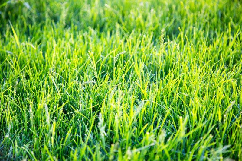 Fondo di erba verde intenso nei raggi del tramonto in primavera Fuoco selettivo immagini stock libere da diritti
