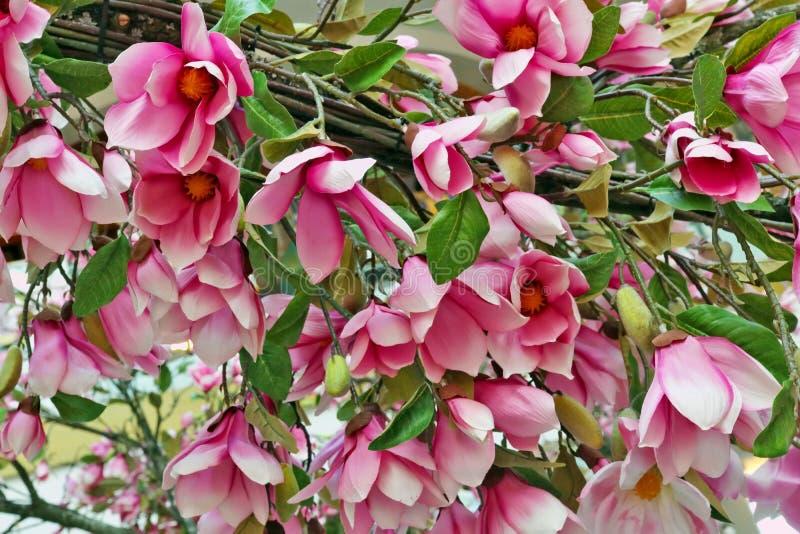 Fondo di fioritura dei fiori dell'albero della magnolia della grande molla rosa fotografia stock libera da diritti