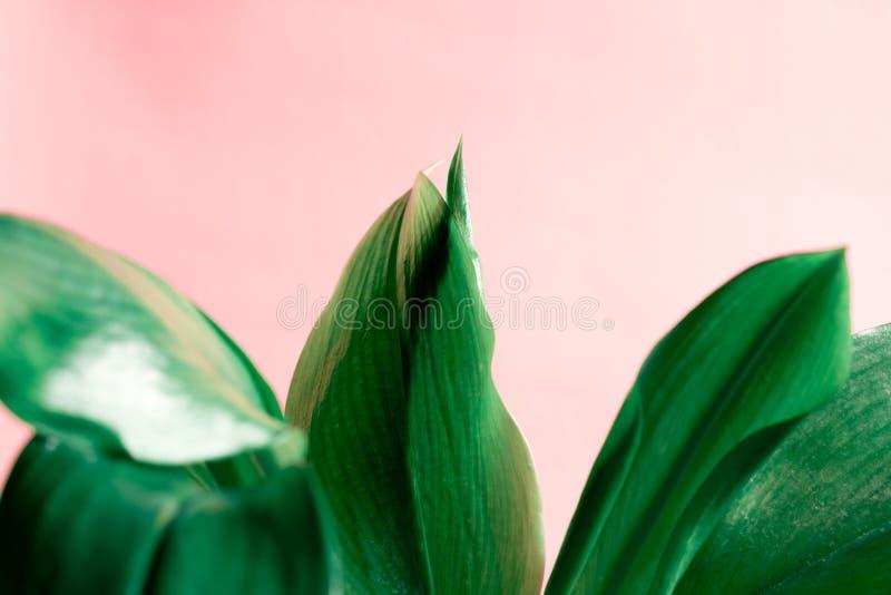 Fondo di foglia di palma di struttura della pianta da appartamento verde Per la decorazione e la progettazione Concetto di vita fotografia stock libera da diritti