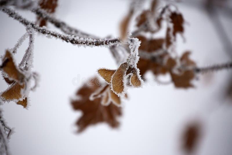 Fondo di inverno, foglie asciutte con la brina immagine stock libera da diritti