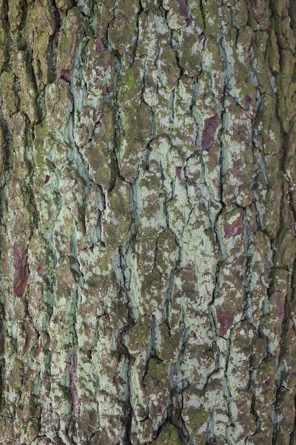 Fondo di legno di struttura, corteccia di albero immagini stock