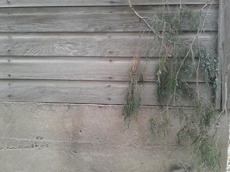 Fondo di legno grigio vecchio con il ginepro 2 di 4 fotografie stock