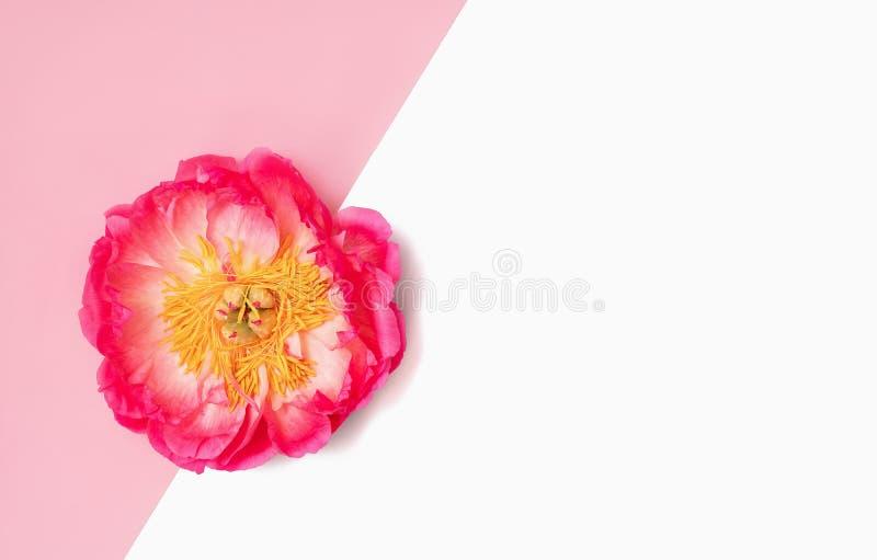 Fondo di Minimalistic con il fiore rosa luminoso della peonia su bianco rosa ed isolato Disposizione piana fotografie stock