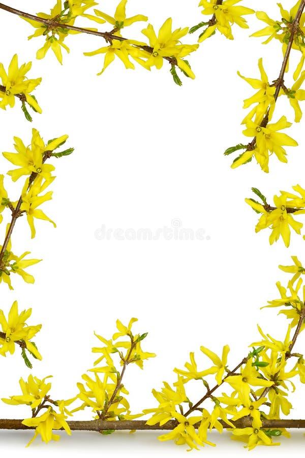 Fondo di Pasqua con i confini e lo spazio floreali della copia Forsythia gialla isolata su fondo bianco fotografie stock