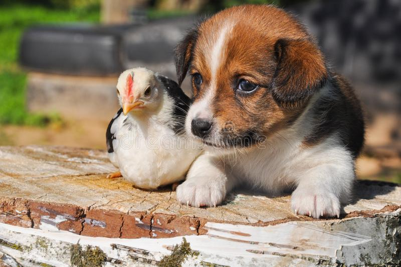 Fondo di Pasqua con il cucciolo di cane e un piccolo pollo fotografie stock