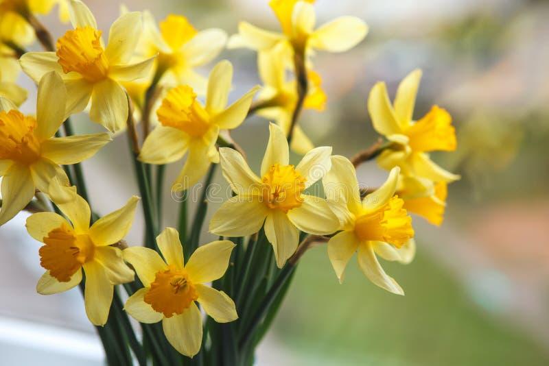 Fondo di pasqua della primavera con i narcisi nel secchio sulla finestra Fiori gialli del narciso o del narciso immagini stock