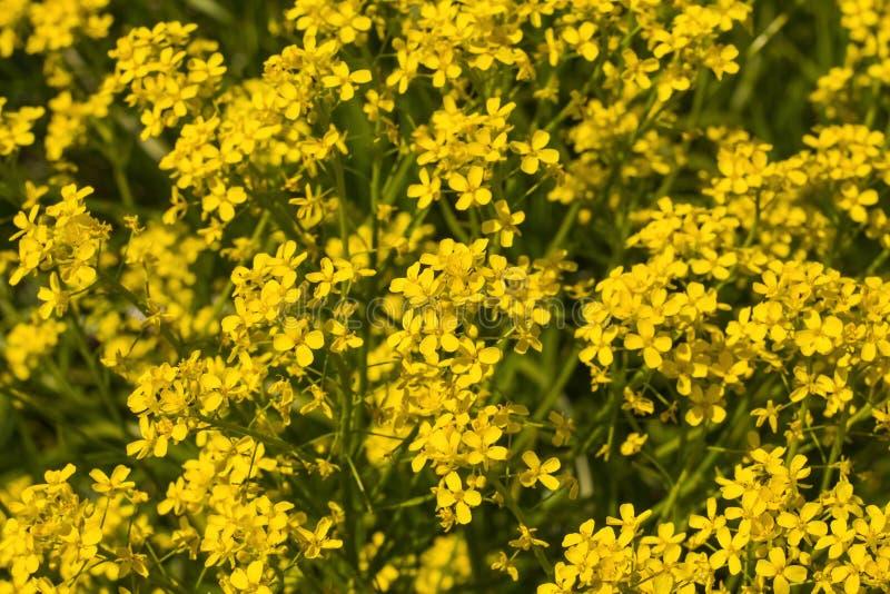 Fondo di piccola crescita di fiori gialla nel campo immagini stock libere da diritti