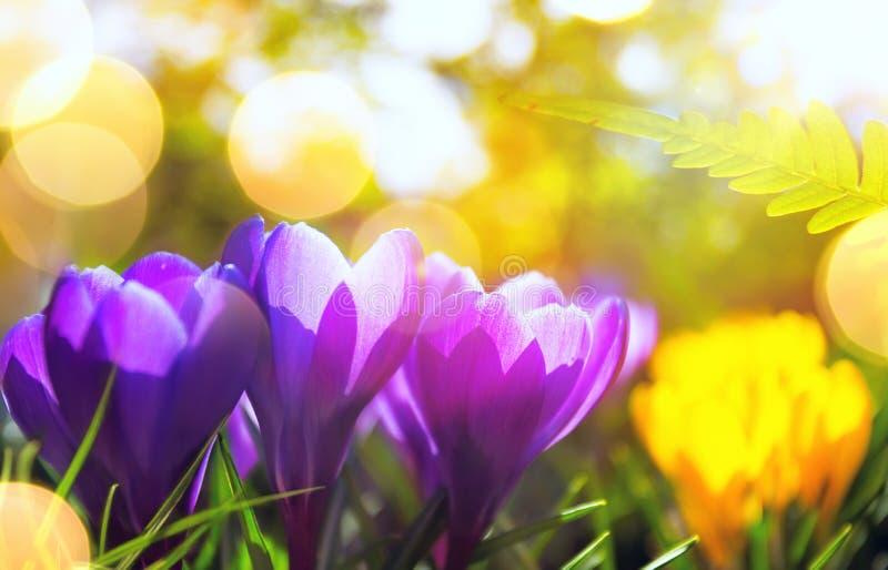 Fondo di primavera La sorgente fiorisce al sole Natura esterna fotografie stock libere da diritti