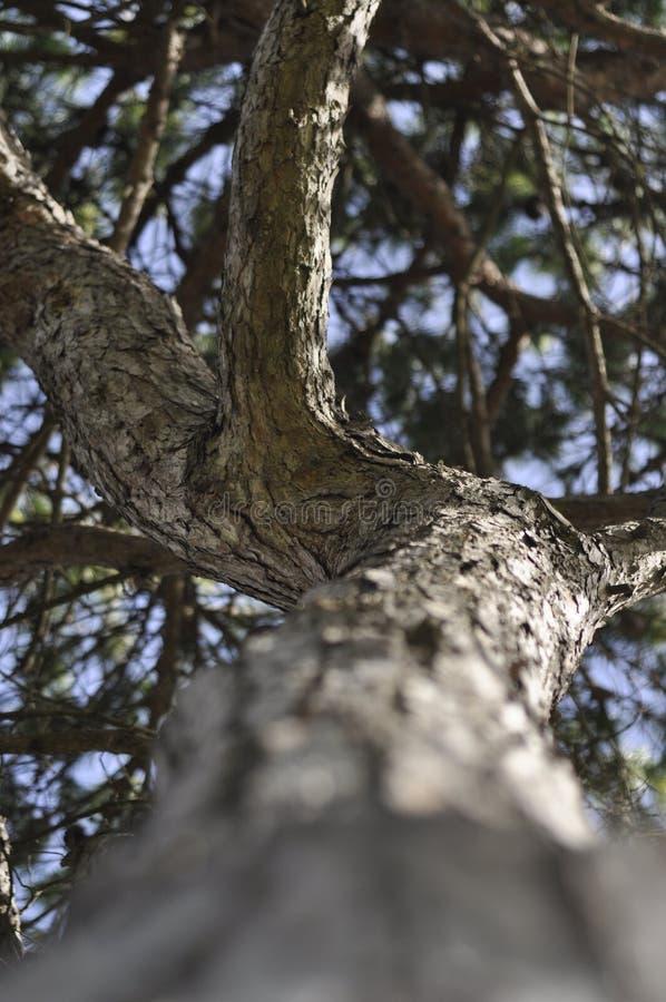 Fondo di prospettiva del pino su fotografia stock libera da diritti