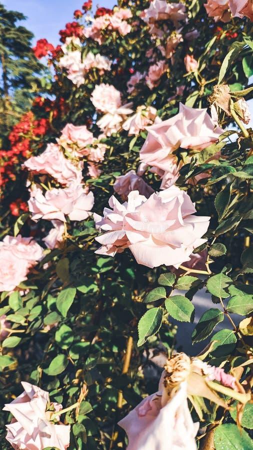 Fondo di rosaio delle rose bianche fotografie stock libere da diritti