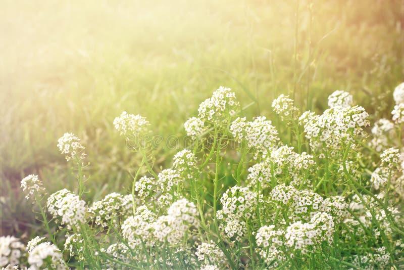 Fondo di sera di estate con il alissum dei fiori bianchi, retro tono fotografia stock