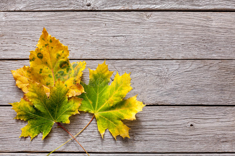 Fondo di stagione di caduta, foglie gialle del chesnut immagini stock libere da diritti