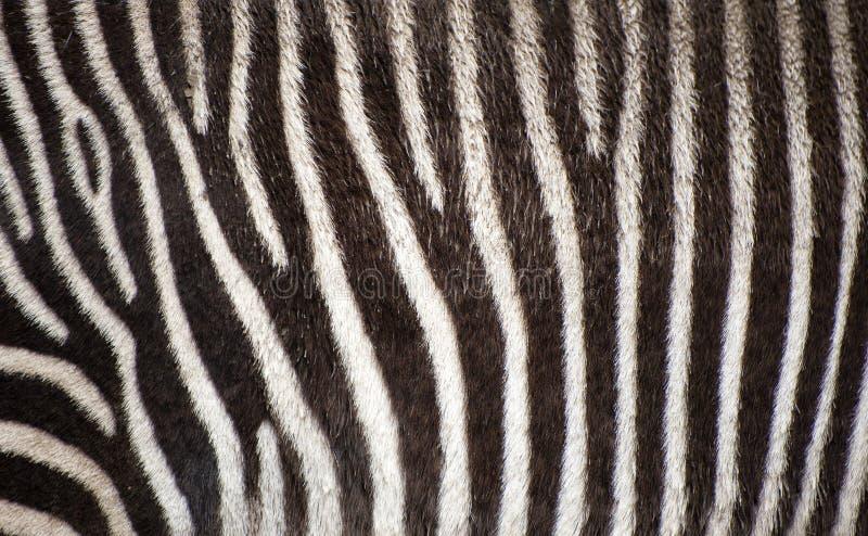 Fondo di struttura della pelliccia della zebra fotografie stock libere da diritti