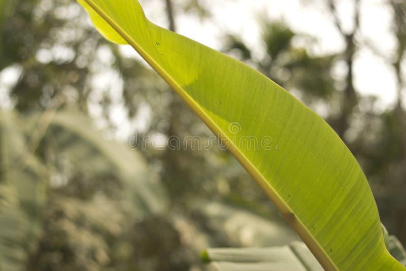 fondo di verde della foglia della banana fotografia stock