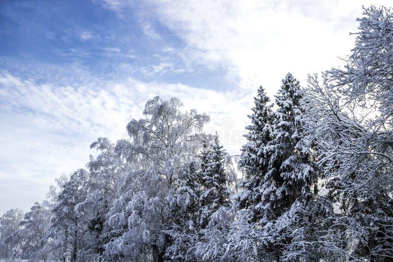 Fondo diagonale di orizzontale della carta da parati del sole della neve di inverno del paesaggio nevoso della betulla degli albe fotografia stock libera da diritti
