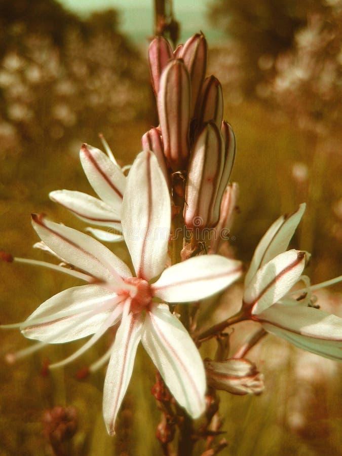 Fondo e carta da parati del fiore selvaggio di Asphodelous nei prodotti delle stampe di alta qualità fotografie stock