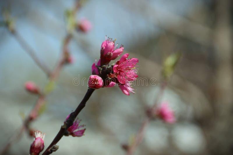 Fondo enmascarado Rama del melocotón con las flores rosadas hermosas fotografía de archivo libre de regalías