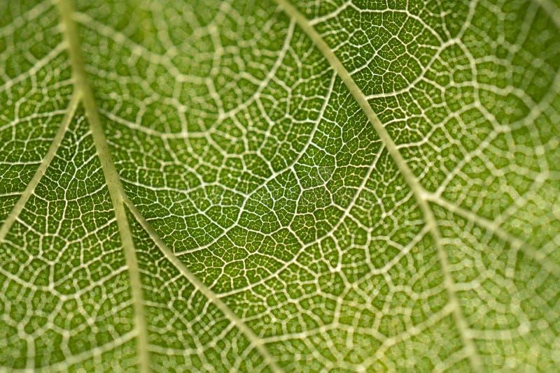 Fondo esquelético de las hojas Ci?rrese encima de textura verde de la hoja imagenes de archivo