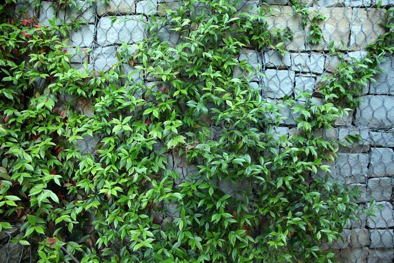 Fondo fatto della pianta rampicante verde sulla parete delle pietre fotografia stock