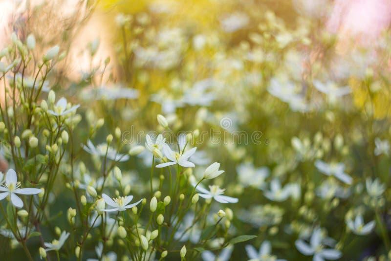 Fondo floral abstracto primer de muchas del pequeño flores blancas en luz del sol foto de archivo