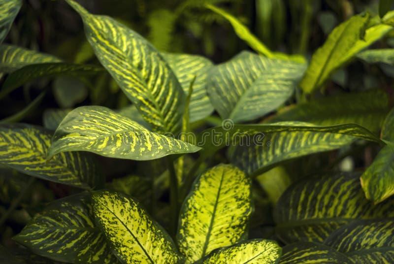 Fondo floral con las hojas modeladas del dieffenbachia imagen de archivo libre de regalías