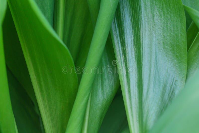 Fondo floral con las hojas verdes del lirio de los valles imagenes de archivo