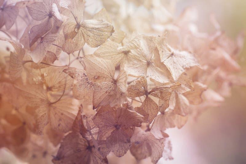 Fondo floral de la hortensia seca fotografía de archivo
