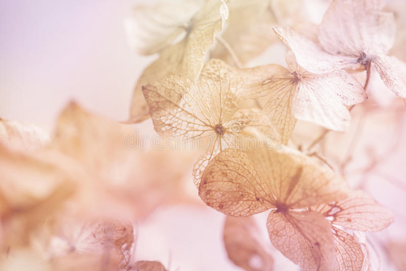 Fondo floral de la hortensia seca foto de archivo