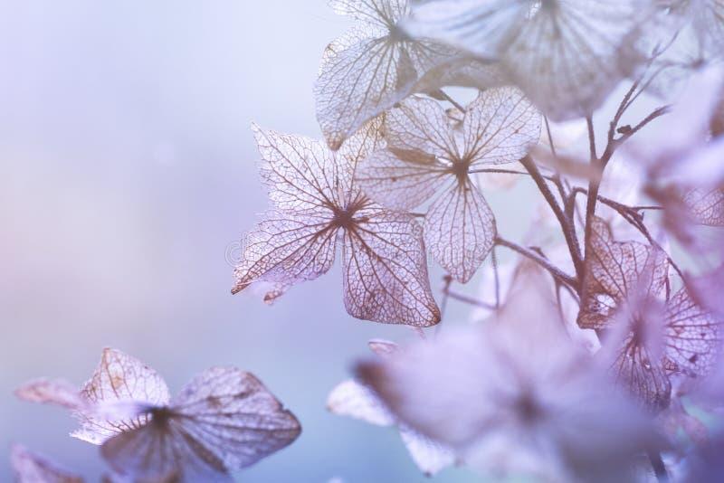 Fondo floral de la hortensia seca imágenes de archivo libres de regalías
