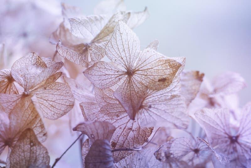 Fondo floral de la hortensia seca imagenes de archivo