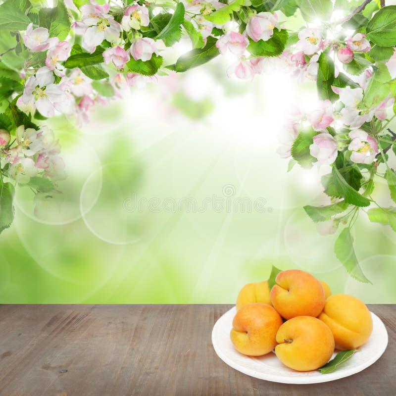 Fondo floral de la primavera con la fruta del albaricoque fotos de archivo