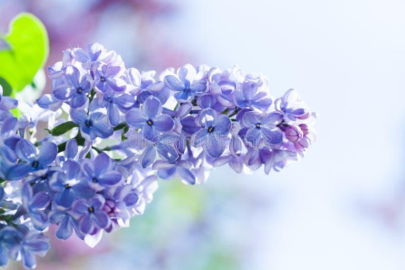 Fondo floral de la primavera hermosa con el manojo de flores púrpuras violetas fondo floreciente de las plantas de la lila Foco s fotos de archivo libres de regalías