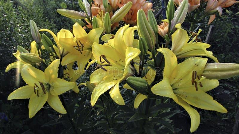 Fondo floral de un hermoso lirio amarillo fotografía de archivo libre de regalías