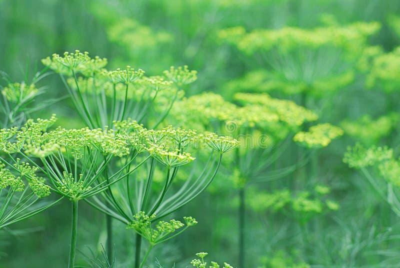 Fondo floral del eneldo floreciente verde fresco imagen de archivo