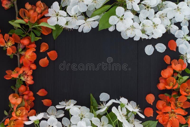 Fondo floral del marco de la primavera con la flor de cerezo blanca y las flores rojas imagen de archivo