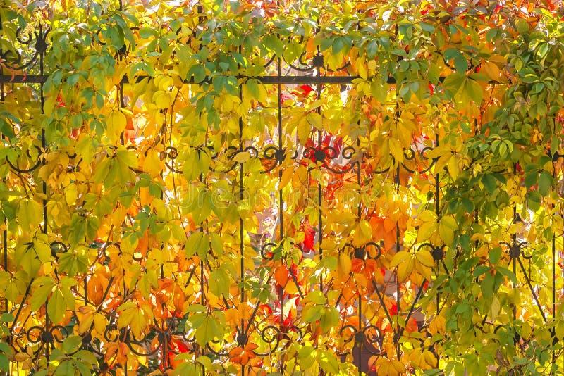 Fondo floral del otoño brillante con las hojas de uvas salvajes de YE imagen de archivo libre de regalías