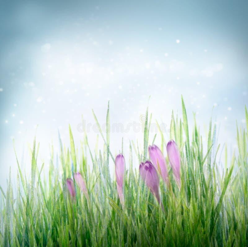 Fondo floral del resorte con las flores del azafrán foto de archivo