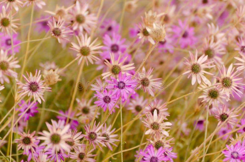 Fondo floral del verano de margaritas violetas brillantes fotos de archivo