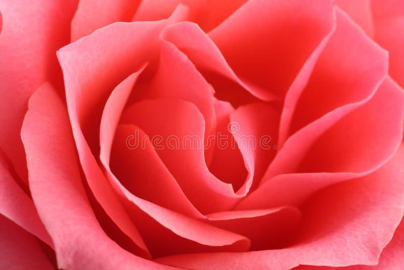 Fondo floral, flor de la rosa fresca del rosa, cierre para arriba, macro imagen de archivo libre de regalías