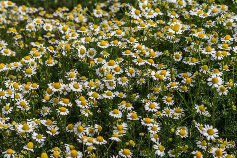 Fondo floral hermoso de flores salvajes de los officinalis de la manzanilla en un prado verde con un efecto luminoso hermoso Dais fotografía de archivo libre de regalías