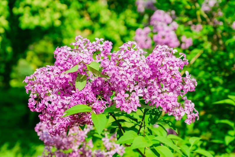 Fondo floral hermoso de las flores de la lila Lila de Violet Flowers en resplandor del sol Imagen romántica floral de la naturale fotos de archivo libres de regalías