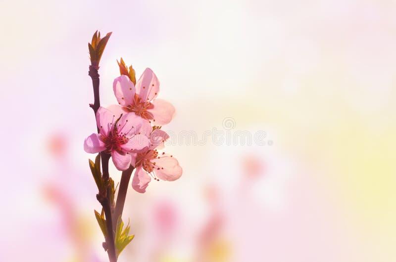 Fondo floral hermoso del extracto de la primavera de la naturaleza Rama del melocot?n floreciente en fondo rosa claro del cielo P fotografía de archivo
