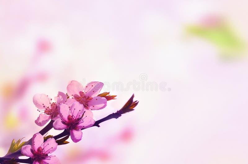 Fondo floral hermoso del extracto de la primavera de la naturaleza Rama del melocot?n floreciente en fondo rosa claro del cielo P foto de archivo libre de regalías