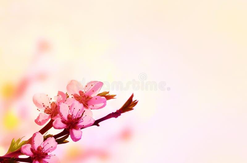 Fondo floral hermoso del extracto de la primavera de la naturaleza Rama del melocot?n floreciente en fondo rosa claro del cielo P imagen de archivo libre de regalías